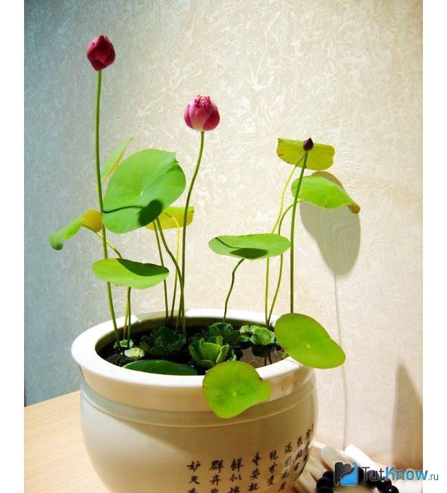 Лотос в домашних условиях выращивание