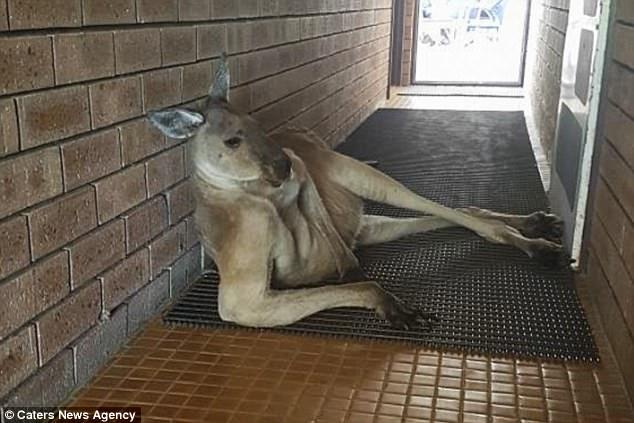 """Кенгуру перегородила людям вход в туалет, расположившись в """"позе модели"""""""