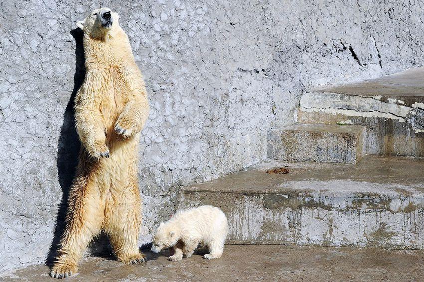Медвежонок впервые вышел в свет Ленинградский зоопарк, показали, белого медвежонка.