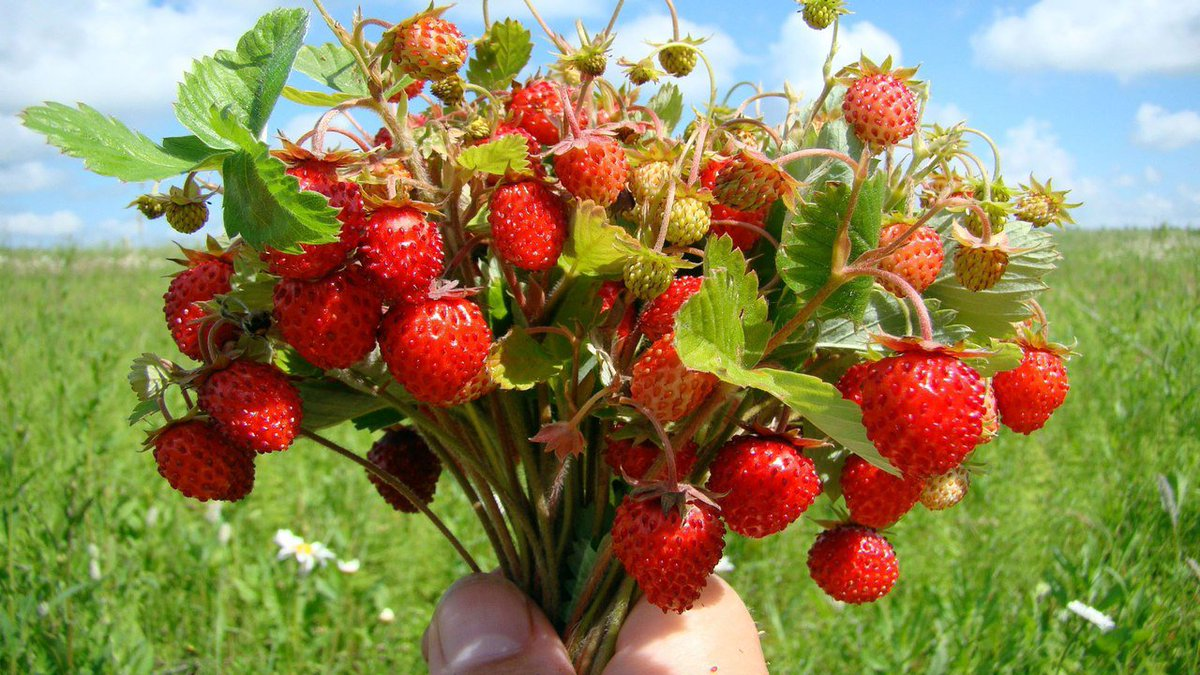 Сажаем землянику ягодами!