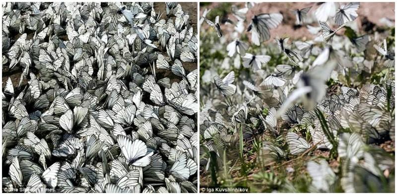 Нашествие бабочек в Сибири