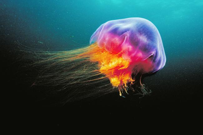Картинки по запросу Ядовитые медузы в Азии в Таиланде и Азии