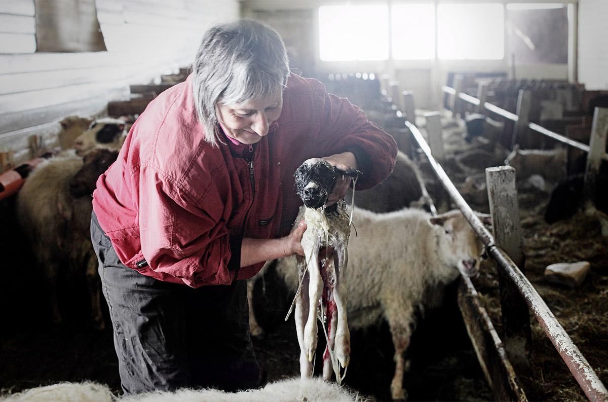 Один день из жизни овечьей фермы на краю Исландии