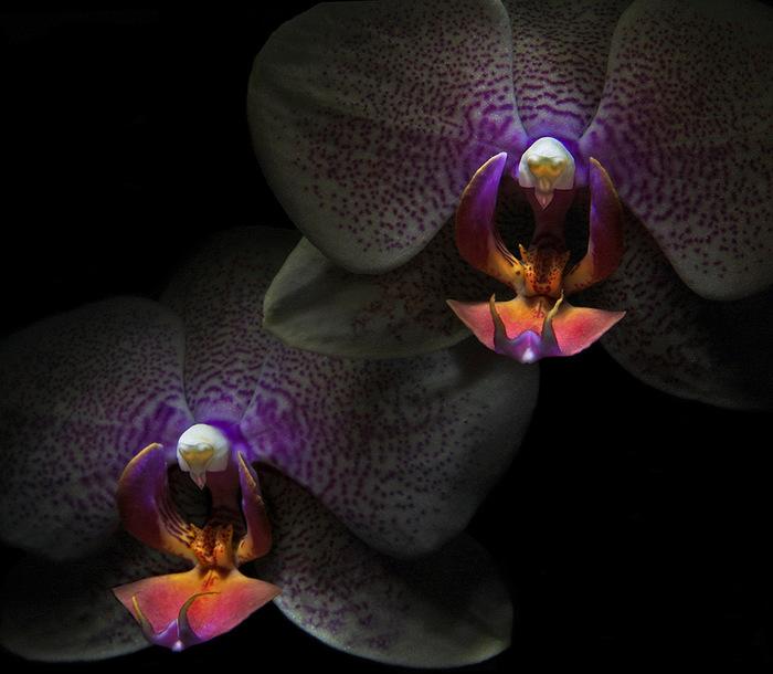 5230261_orhideya_dop_plus_4 (700x610, 114Kb)