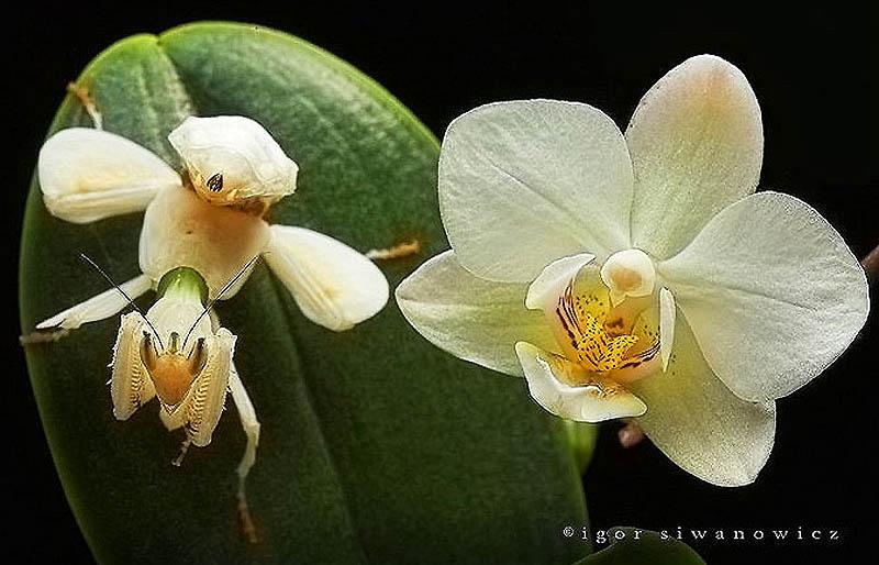 1758 Орхидейные богомолы