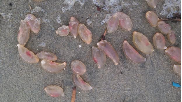 Множество невиданных скользких существ заполонило пляжи Калифорнии