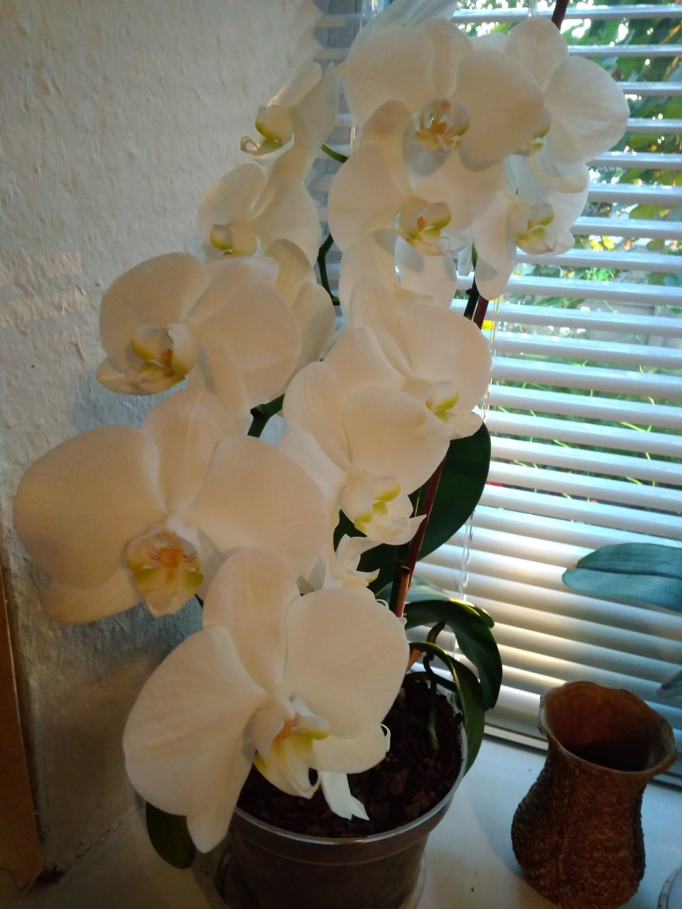 Что делать, чтобы зацвела орхидея Цветы орхидеи 97