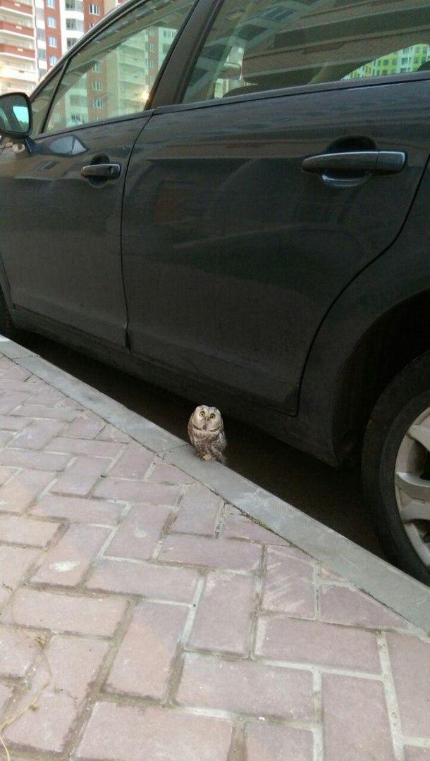 Жители Пулково нашли маленького сыча, который ждал кого-то возле машины
