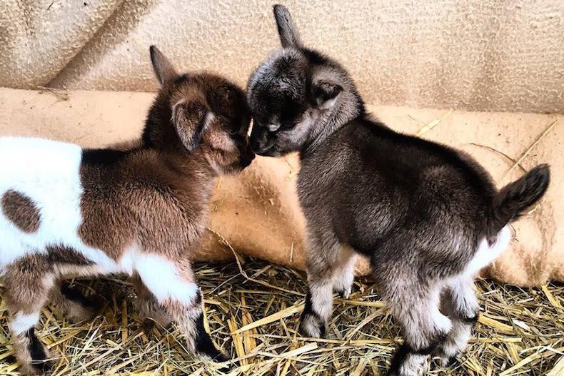 Как выбрать правильную козу?