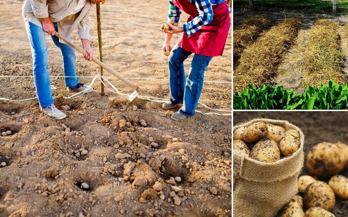 Выращивание картофеля с нуля 72