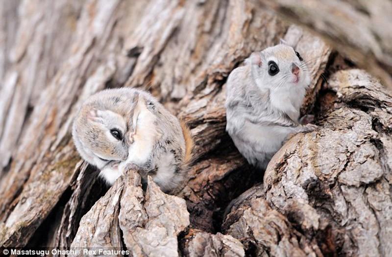 squirrels04 Сибирские белки летяги   это нечто