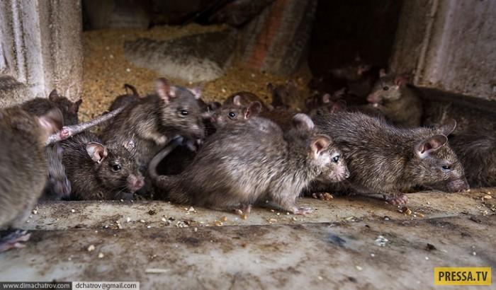 Индийский храм крыс Шри Карни Мата, Нервным смотреть не рекомендуется…