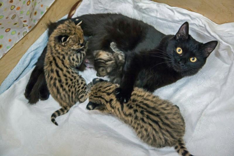 В Новосибирском зоопарке две домашние кошки стали приёмными мамами детенышам каракала, сервала и дальневосточного кота