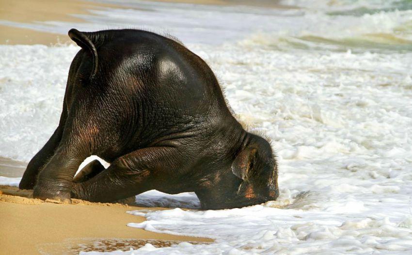 Слоненок на пляже в Пхукете