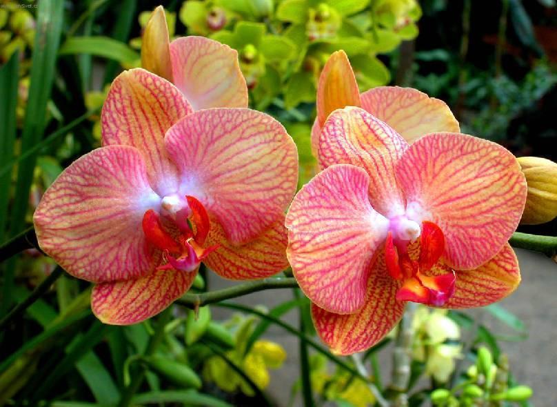 Нужно ли пересаживать орхидею?