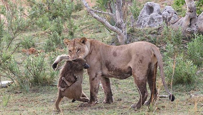 Бравые Бабуины, и Львы разявы бабуины, львы