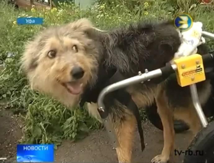По улицам Уфы катается пес на инвалидной коляске