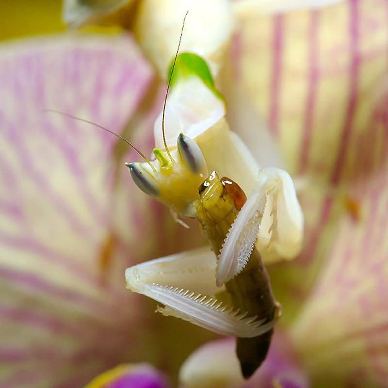 2051 Орхидейные богомолы