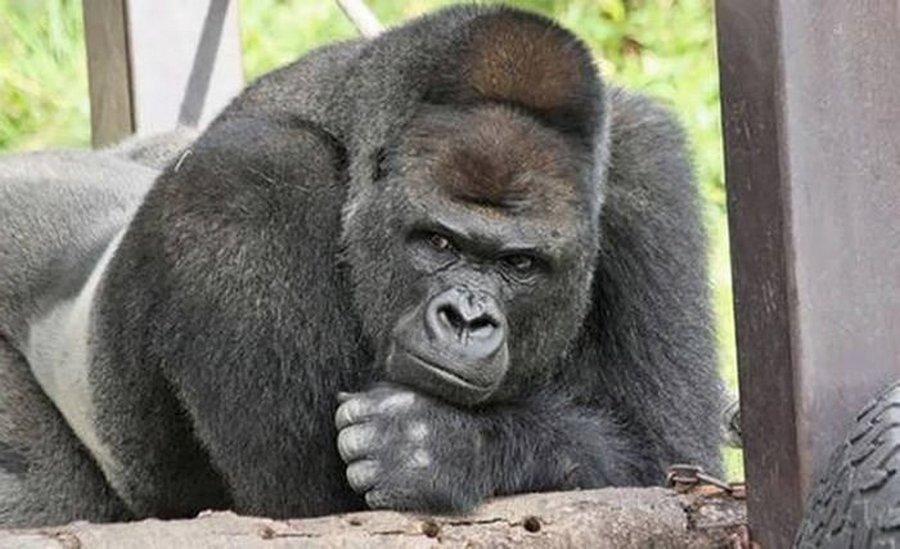 Шабани — самый фотогеничный в мире красавец-горилла