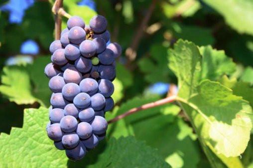 Сорта винограда для Среднего Поволжья на примере Самарской области