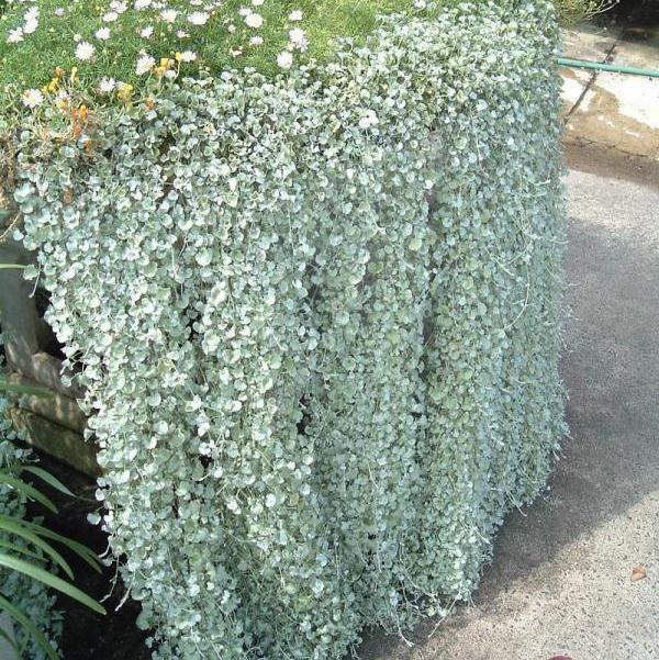 Серебряный водопад: Выращиваю дихондру без всяких хлопот