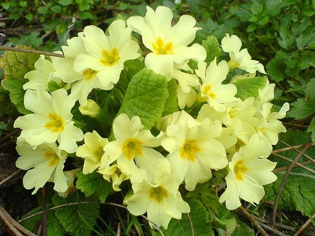 Примула — самый первый первоцвет