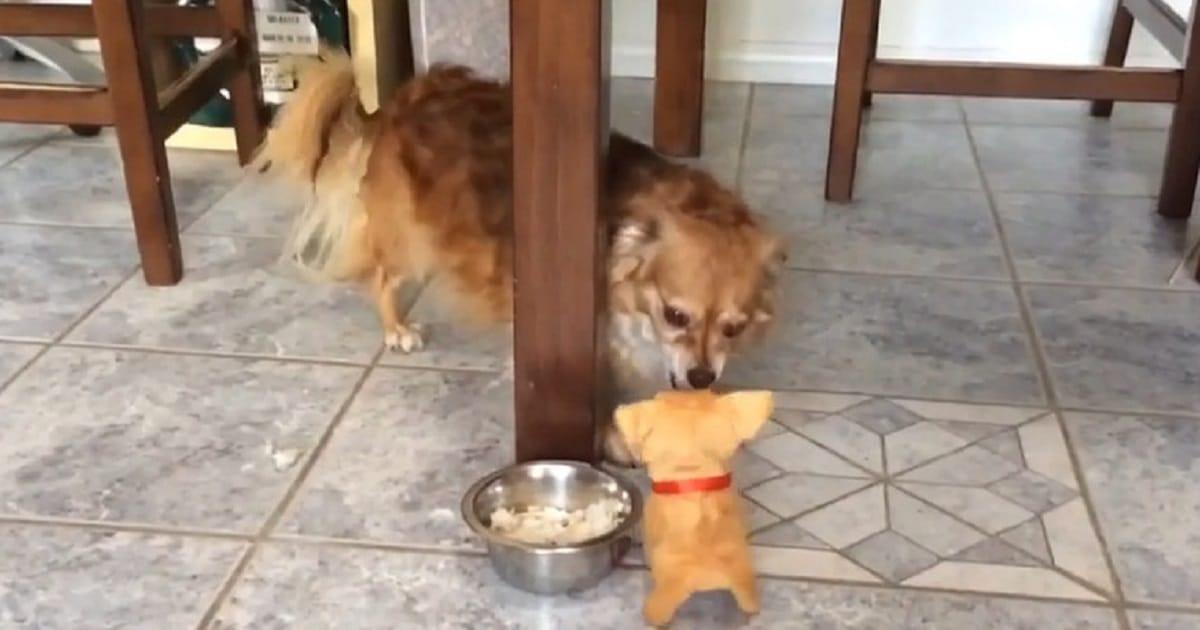 «Не отдам свою еду!»: собачка приняла игрушку за «конкурента», который посягнул на ее ужин