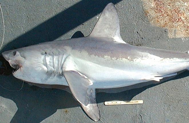 Крупная акула попалась на крючок под Владивостоком