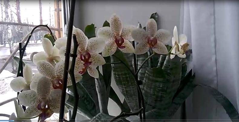 Размножение орхидеи Фаленопсис ! Реальный СУПЕР способ!