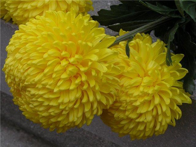 Обои Хризантемы Жёлтые хризантемы Никитская Сказка Цветы Фото 274482
