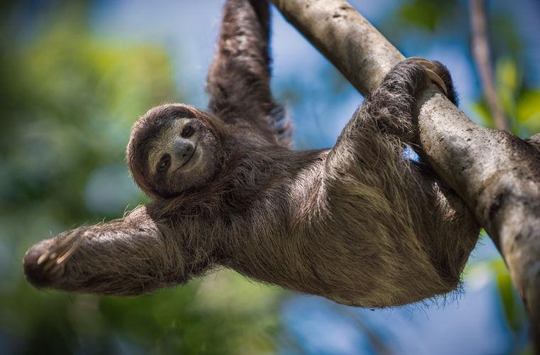 Любопытные подробности жизни ленивцев