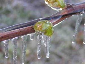 Защита винограда от морозов