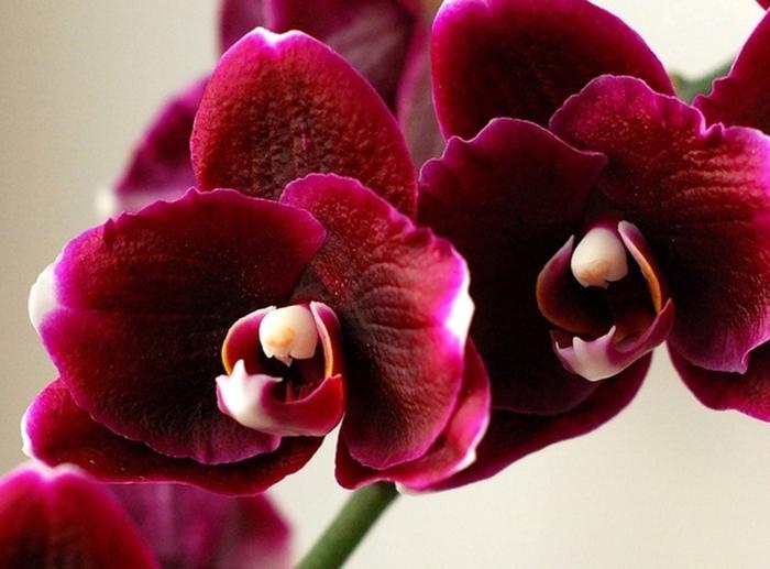 5230261_orhideya1 (700x517, 230Kb)