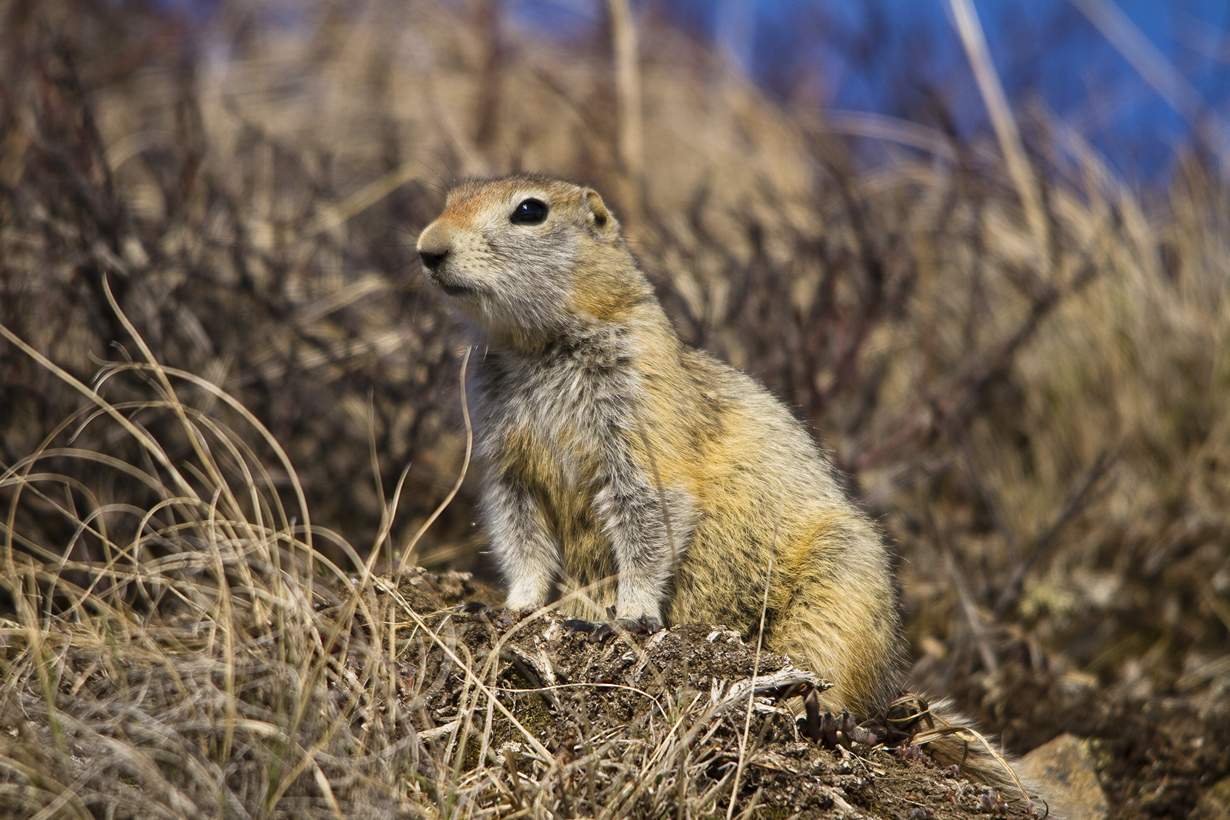 США. Аляска. Прогулка по Национальному парку Денали. (NPS/ Jacob W. Frank)