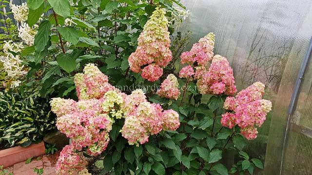 Чтобы метельчатые гортензии шокировали цветением