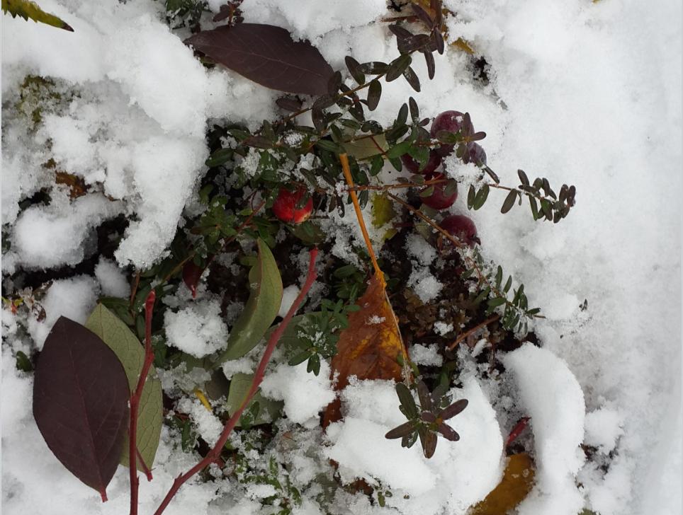 Как у меня поселились голубика садовая и клюква крупноплодная