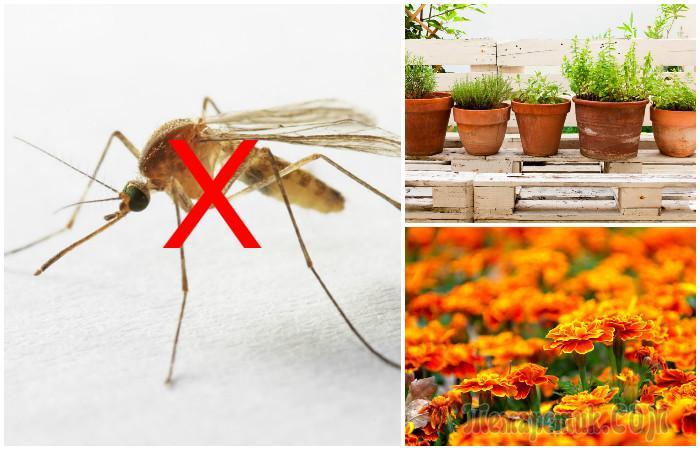 8 растений, которые стоит посадить на балконе или на даче, чтобы избавиться от комаров