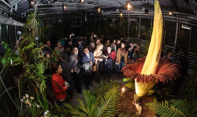 В Бельгии расцвел самый большой в мире «трупный цветок»