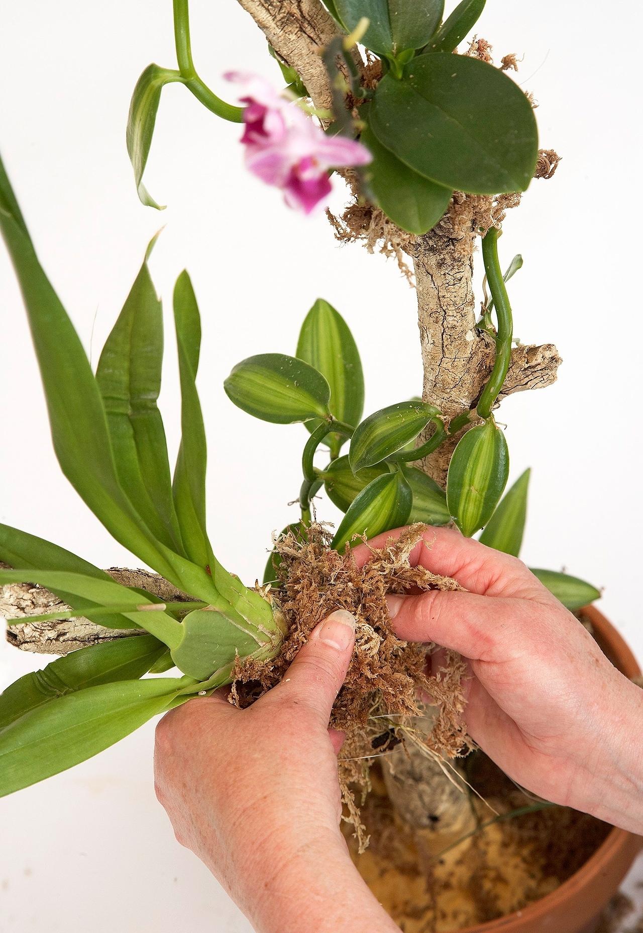 Как поливать орхидеи, выращенные в сфагновом мхе
