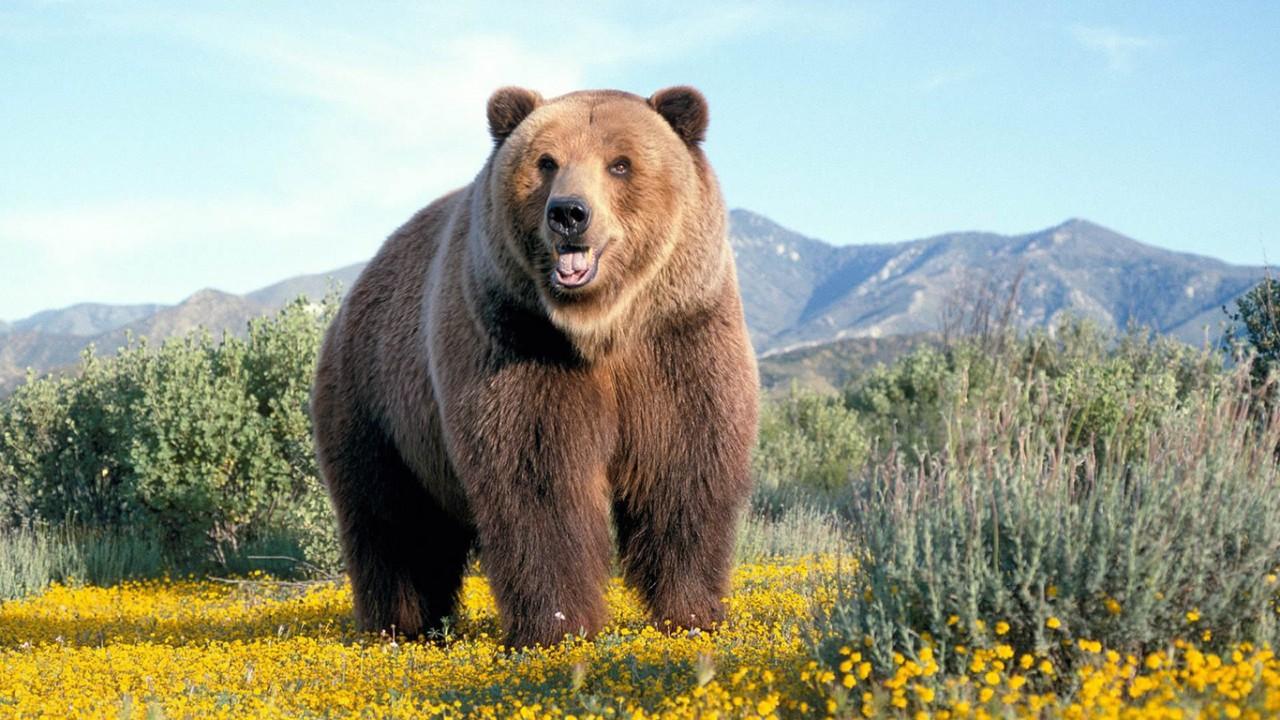 Спугнувший медведя во время …