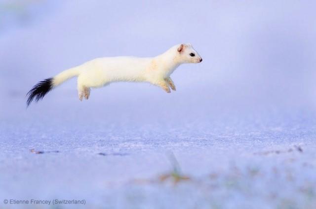 Забавные фото победителей конкурса Wildlife Photographer of the Year (16)