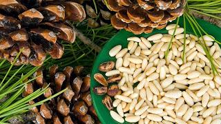 Кедровые орехи — сибирское здоровье