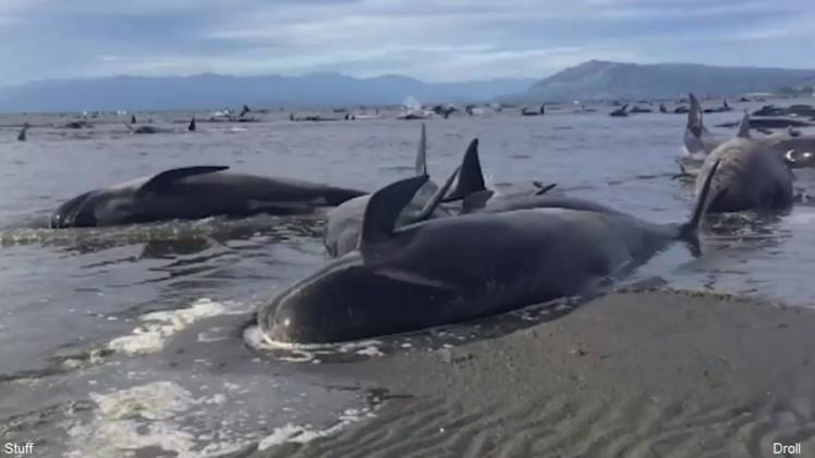 В Новой Зеландии произошло одно из самых массовых выбрасываний китообразных на берег в истории