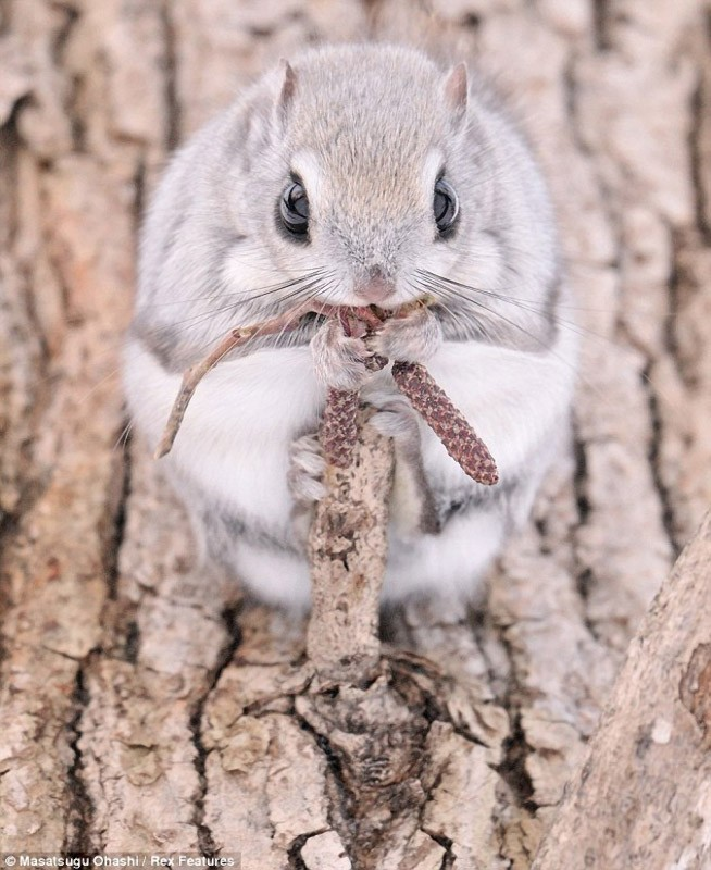 squirrels05 Сибирские белки летяги   это нечто