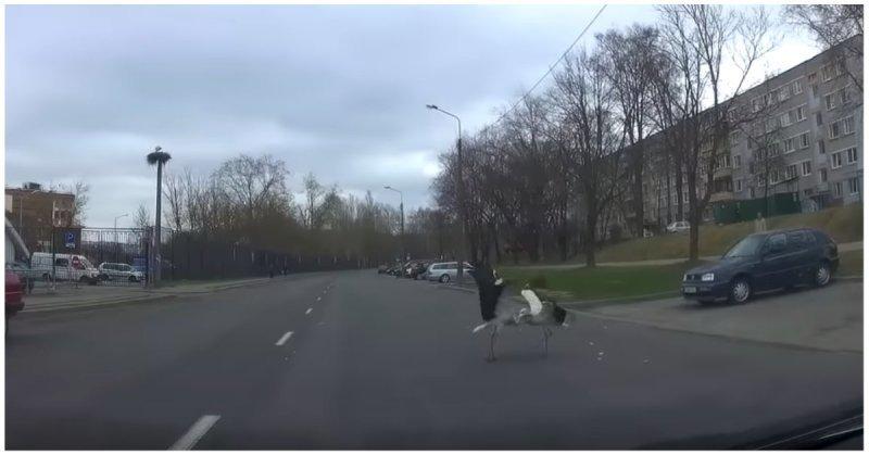 В Минске аисты подрались прямо на проезжей части