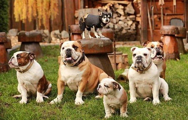Хозяйка 18 собак делает своим бульдогам маникюр балованные животные, животные, люди и звери, маникюр для бульдога, необычно, сверхзабота, собаки, удивительные хозяева