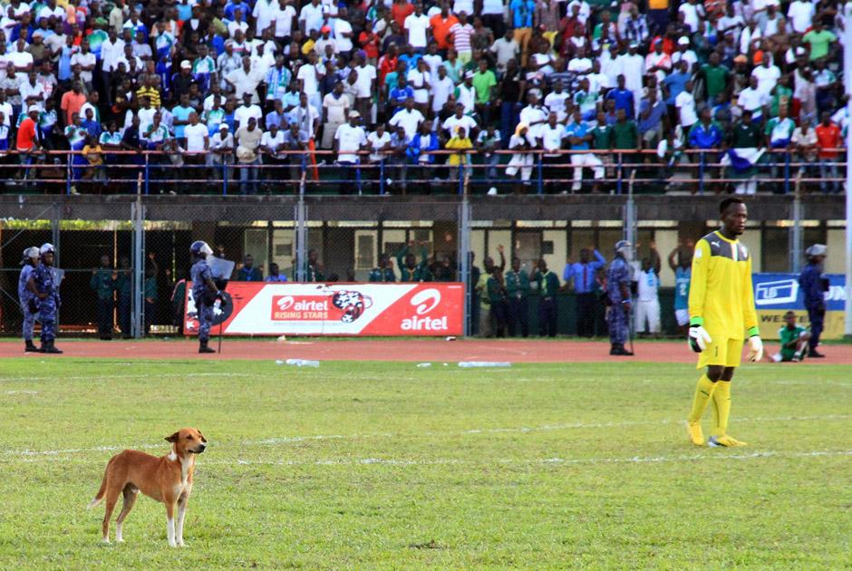 Cобака на матче Сьерра-Леоне — Тунис во время ЧМ-2014, 8 июня 2013 года