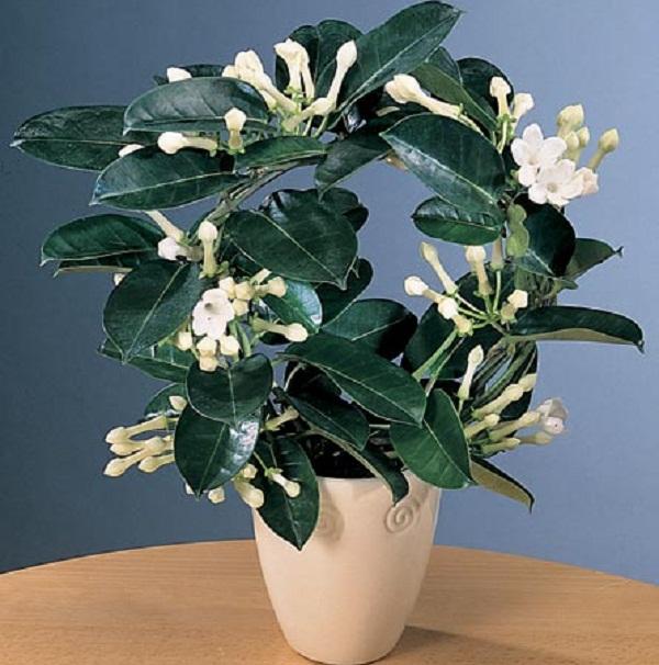 Комнатный цветок стефанотис обильноцветущий уход