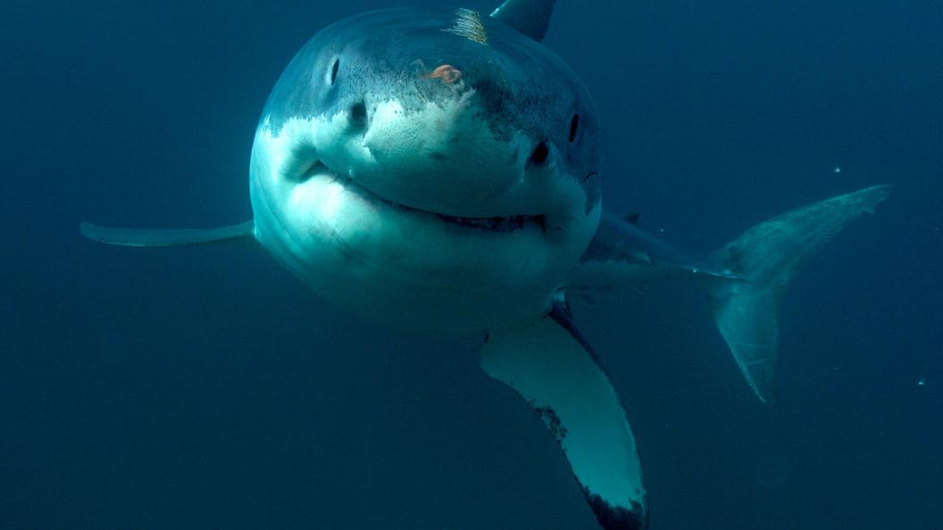 Австралийские рыбаки пережили нападение большой белой акулы - видео