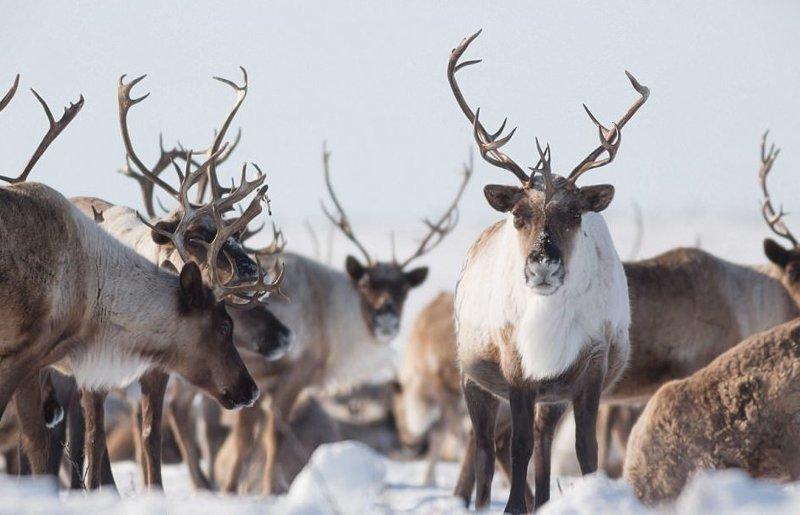 Уже в тундре олени усиленно питаются, восполняя свои жизненные запасы, и дают потомство животные, канада, миграция, мир, олень, природа, фотография